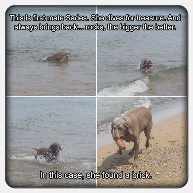 Dog fetching a brick out of the ocean.