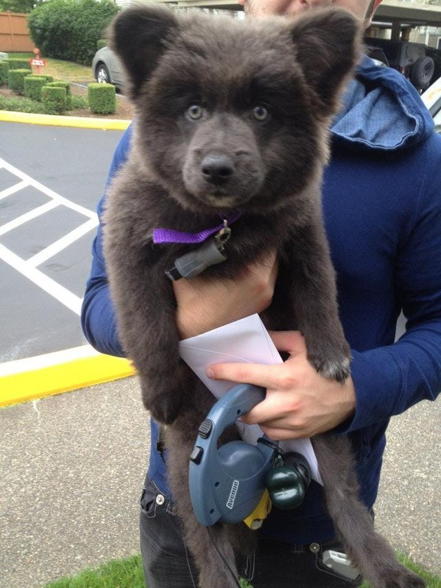 Mixed breed dog that looks like a bear