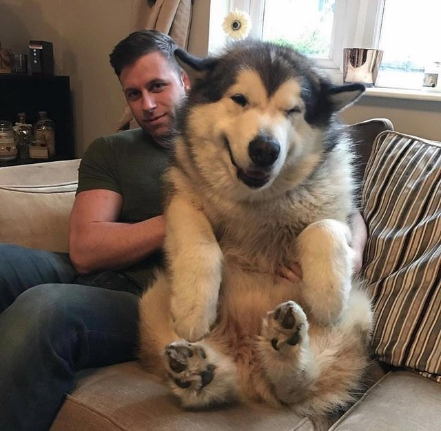 Winking bear-like dog sitting on man