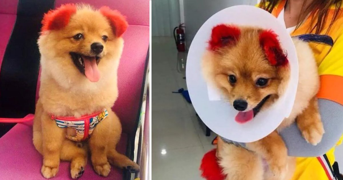 dsfsdf.jpg?resize=1200,630 - Dog's Ears Completely Fall Off After Owner Dyes Ears Red