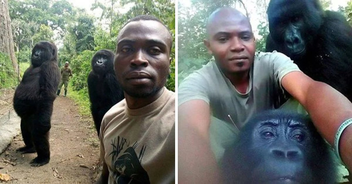 featured image 52.png?resize=1200,630 - These Gorillas Love To Pose For Selfies With Anti Poaching Rangers