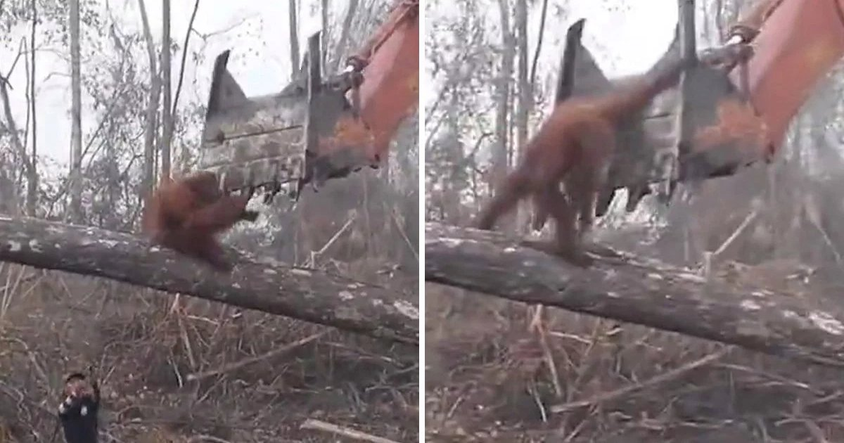 featured image 53.png?resize=1200,630 - Viewers Heartbroken After Watching The Desperate Orangutan 'Fighting' The Bulldozer That Is Destroying Its Home