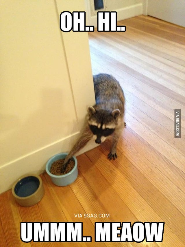 Raccoon stealing from bowl of cat food.