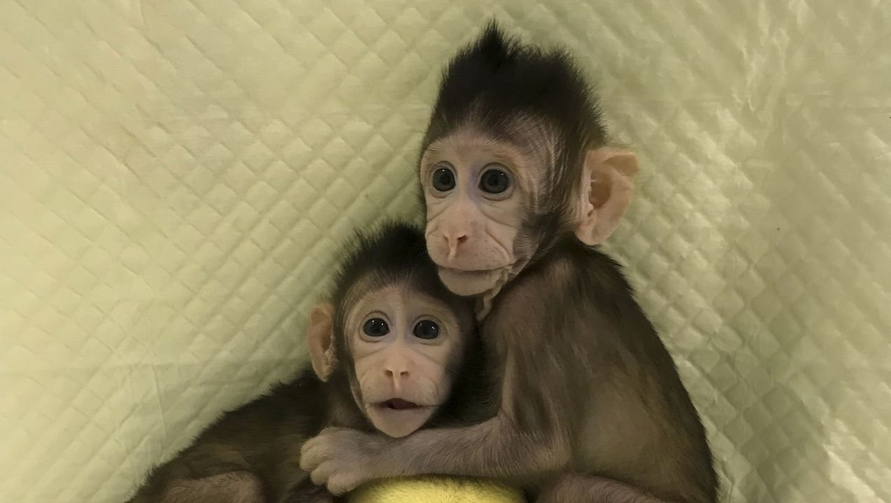 Image result for Chinese scientists implant human brain genes into monkeys to make them SMARTER