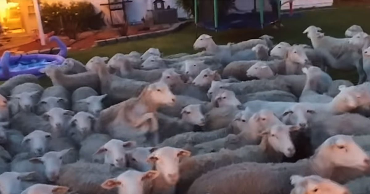 man left his garden gate open and found 200 sheep in his back yard.jpg?resize=1200,630 - Man Left His Garden Gate Open And Found 200 Sheep In His Backyard
