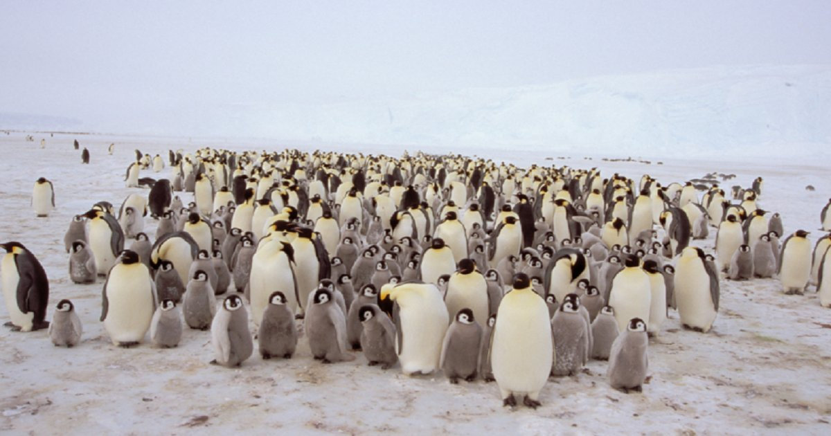 """p3 1.png?resize=1200,630 - Second-Largest Emperor Penguin Colony In Antarctica Got Wiped Out, An """"Important Signal"""" Of What's To Come"""