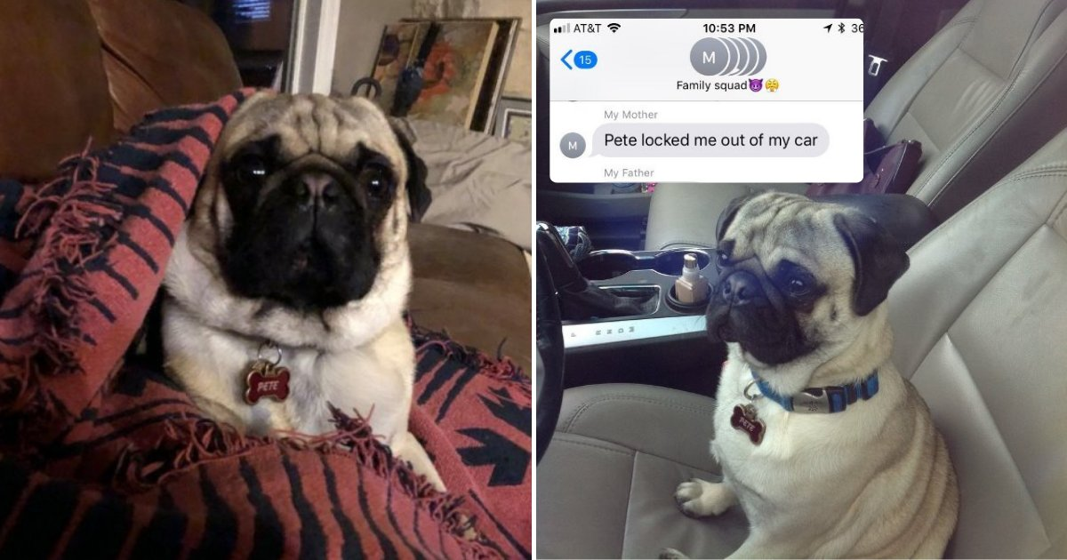 pete4.png?resize=412,232 - Woman Got Locked Out Of Car By Her PUG Pete, Dog Looked Chilled While Waiting To Be Rescued