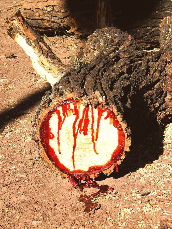 Bloodwood tree (Pterocarpus angolensis)