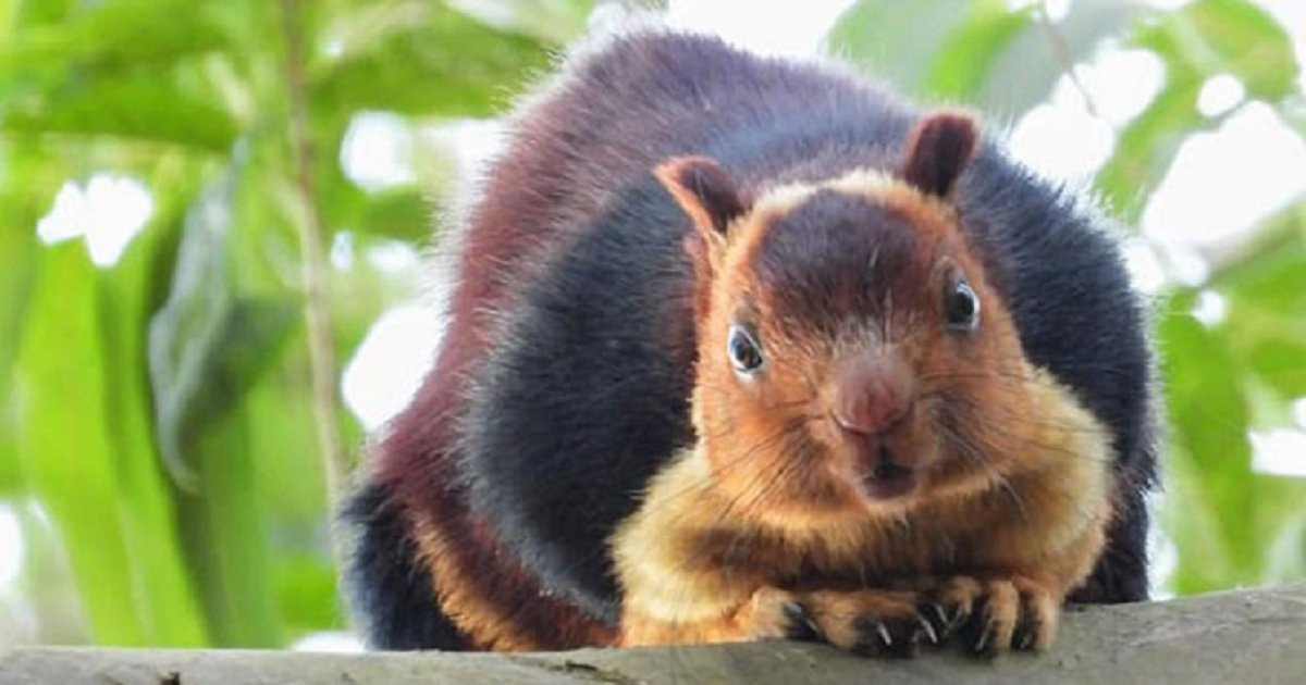 s5.jpg?resize=1200,630 - These Giant, Colorful Squirrels In India Are The Most Beautiful Rodents
