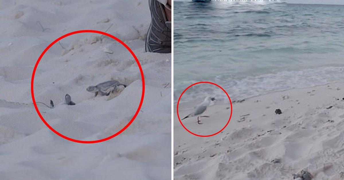 seagull snatched turtle.jpg?resize=412,232 - Un bébé tortue s'est fait saisir et manger par une mouette quelques instants après avoir été relâché une plage