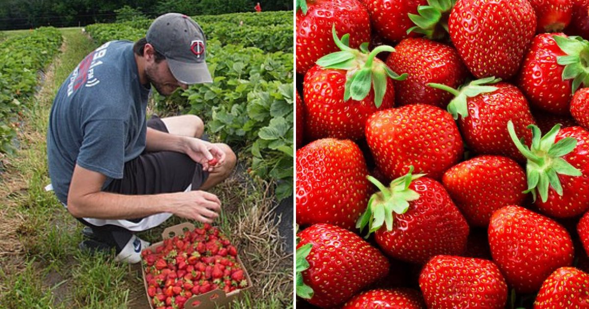 strawberries2.png?resize=1200,630 - Man Found The World's Most Attractive Strawberry And It's Also The Sweetest