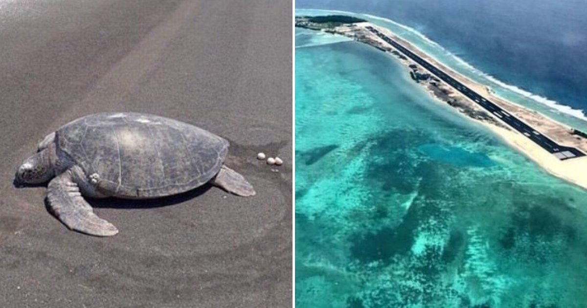 turtle4.png?resize=412,232 - Endangered Turtle Returns To Beach To Lay Eggs Only To Find Runway Has Already Been Built