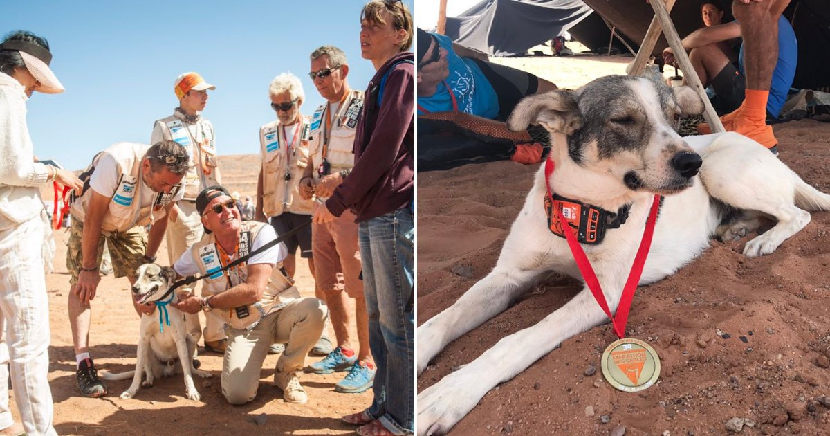 untitled design 17.png?resize=412,232 - Dog Ran Over 100 Miles To Finish A Desert Marathon And Win A Medal