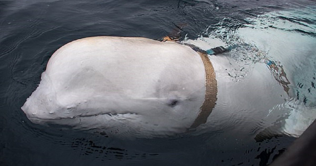 """w3 3.jpg?resize=1200,630 - A Group Of Fishermen Captured A Suspected Russian """"Spy Whale"""" Off The Coast Of Norway"""