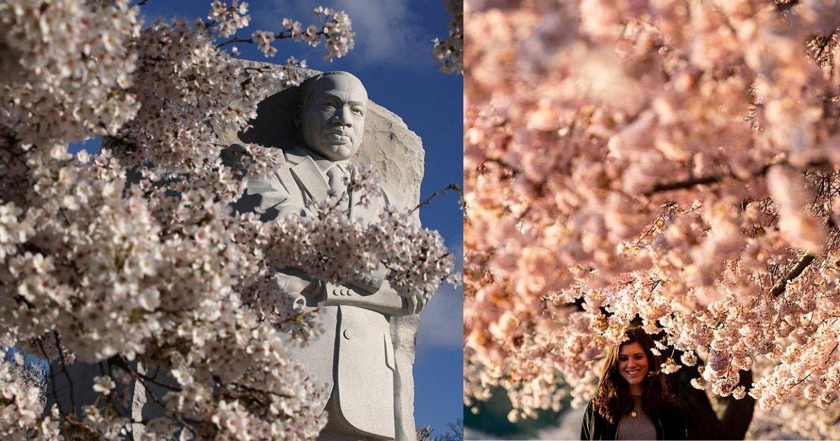 y2 4.png?resize=412,232 - Des voyageurs, photographes et amoureux de la nature se sont réunis à Washington pour regarder les cerisiers fleurir