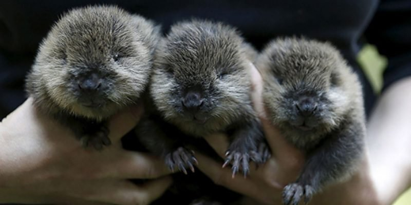 12 1 1 e1557247488767.jpg?resize=1200,630 - 55 Adorable Baby Beavers You'd Instantly Want To Give A Hug To