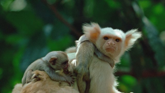Adult marmoset carrying two babies on its back.