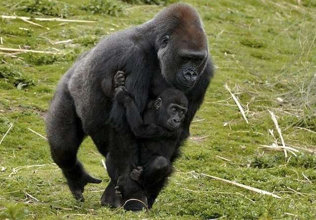 Adult gorilla carrying baby gorilla.