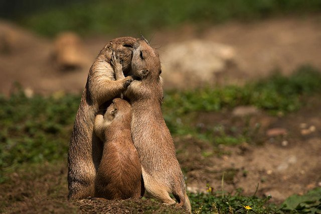 Adult prairie dogs kissing with child between them.