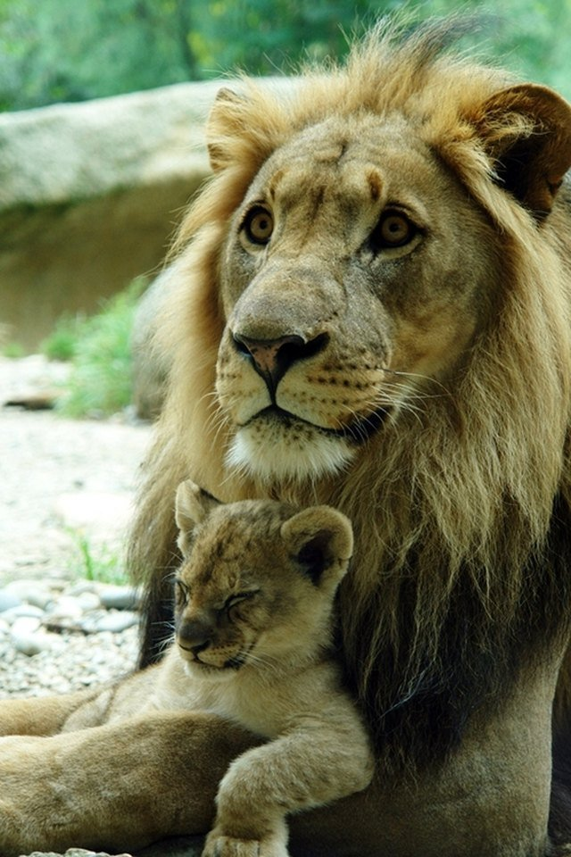 Lion cub sleeps on adult male lion