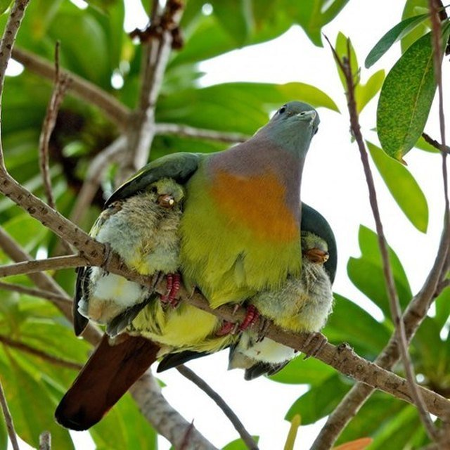 Bird with two chicks under its wings.