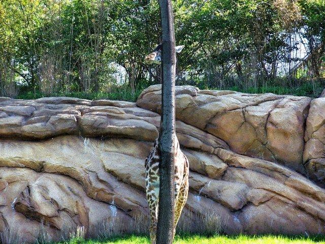 Giraffe standing behind thin tree.
