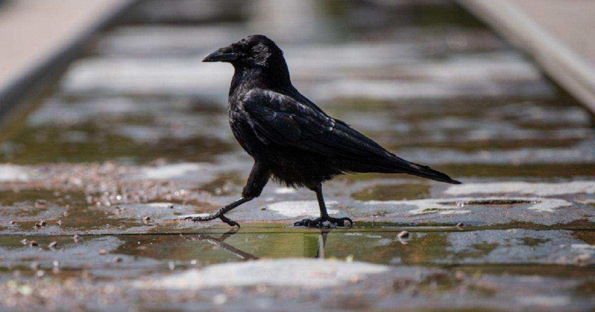 c3 1.png?resize=188,125 - Un corbeau plonge sur les gens et les attaque afin de les faire fuir