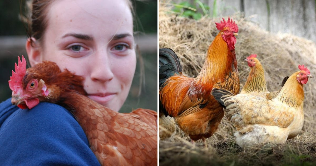 chicken5.png?resize=1200,630 - CDC Warns Chicken Owners Not To Snuggle Or Kiss Animals Amid A Salmonella Outbreak