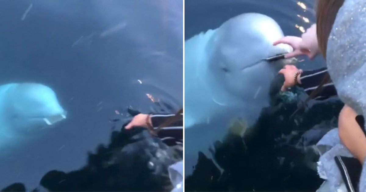 cool whale.png?resize=412,232 - Amazing Moment As A Friendly Beluga Whale Returned The Phone To A Woman Who Accidentally Dropped It Into The Ocean