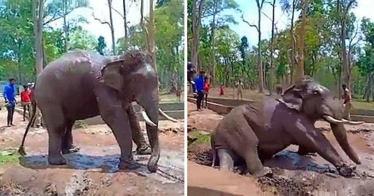 d5.png?resize=1200,630 - Un éléphant se bat contre sa chaîne avant de s'effondrer et de mourir dans le parc national des Indiens
