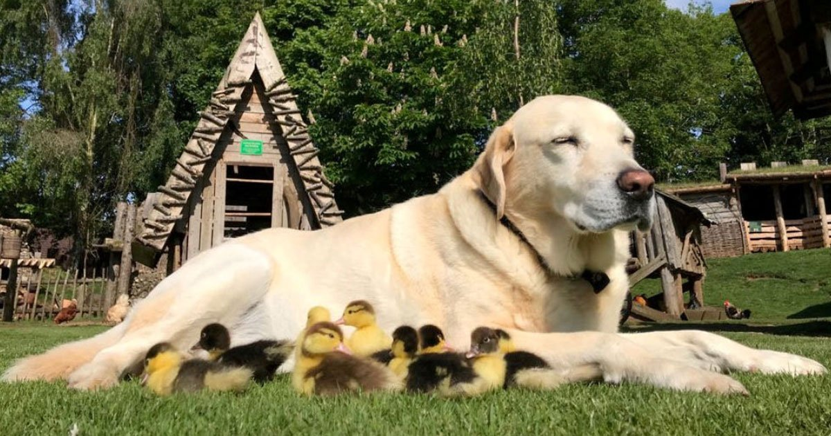dog adopted ducklings.jpg?resize=1200,630 - Labrador, Who Adopted Nine Baby Ducklings Last Year - Is Now A Foster Dad To Six New Orphaned Ducklings
