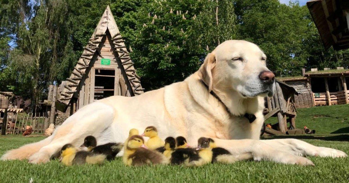 dog adopted ducklings.jpg?resize=412,232 - Ce labrador, qui a adopté neuf canetons l'année dernière - est maintenant le père adoptif pour six nouveaux canetons orphelins