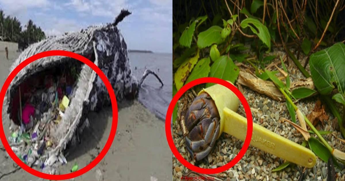 e696b0e8a68fe38397e383ade382b8e382a7e382afe38388.jpg?resize=412,232 - 【ショック】助けて!ゴミに住んでいるヤドカリ?!人間のせいでプラスチックゴミに苦しむ生物たち...