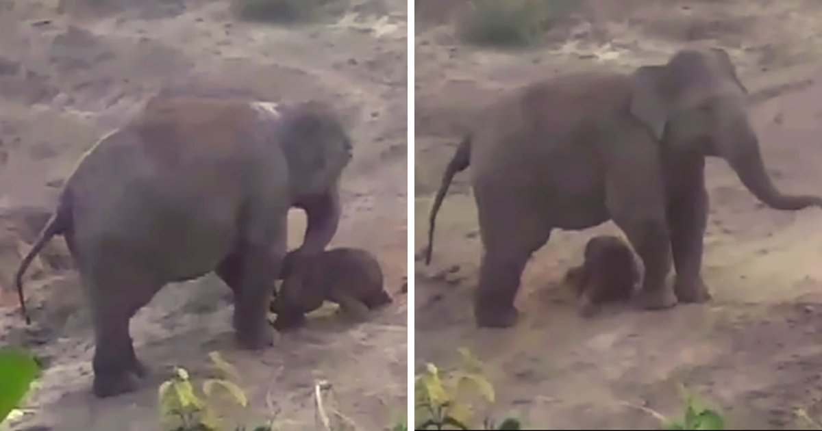 elephant4.png?resize=1200,630 - Mother Elephant Tramples Man After Being 'Pelted With Stones' As She Tries To Save Newborn Calf
