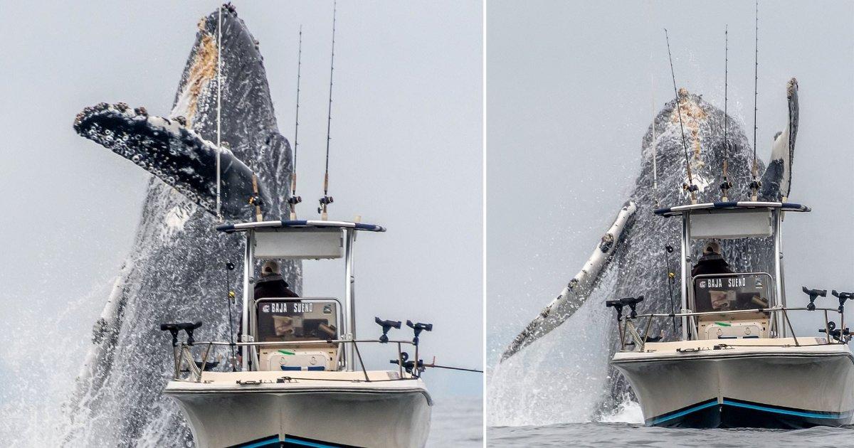 featured image 35.png?resize=412,232 - Moment incroyable d'une baleine à bosse géante qui bondit à quelques mètres d'un petit bateau de pêche