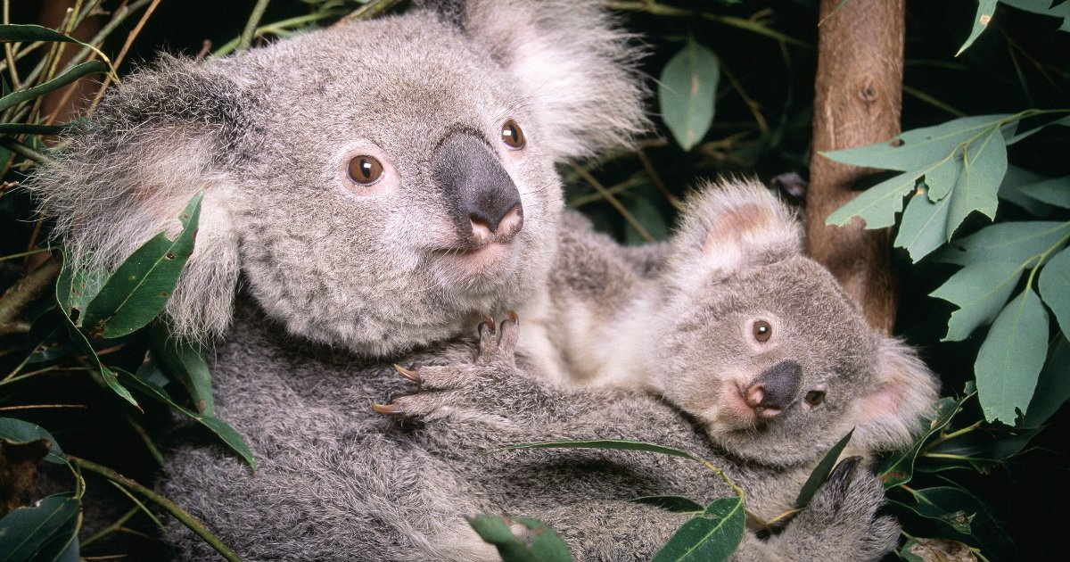 featured image 44.png?resize=300,169 - Koalas Are Now 'Functionally Extinct' As Their Low Numbers Can't Produce A New Generation