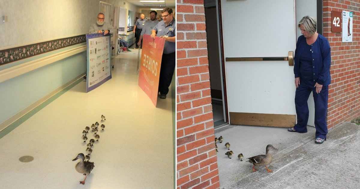 featured image 60.png?resize=300,169 - Mother Duck Paraded Her Ducklings Through The New York Hospital She Visits Every Year