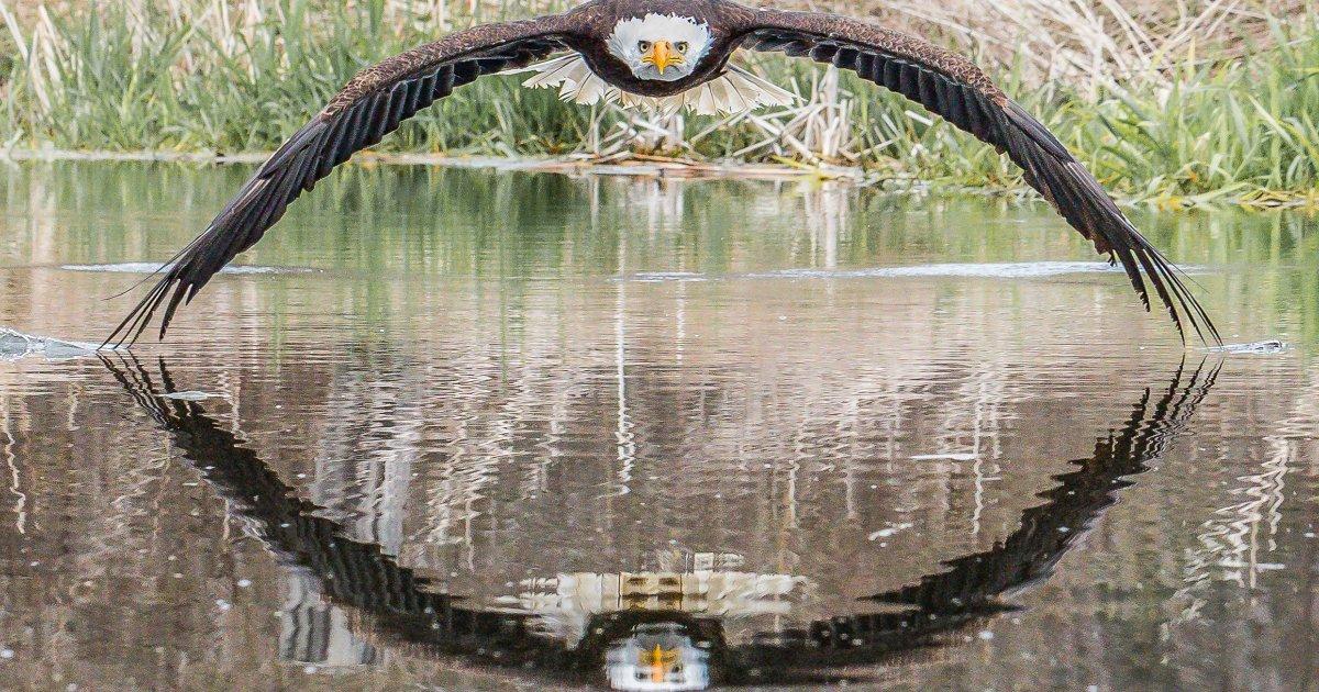 featured image 78.png?resize=412,232 - Magnifique photo d'un aigle regardant directement dans l'objectif de l'appareil photo