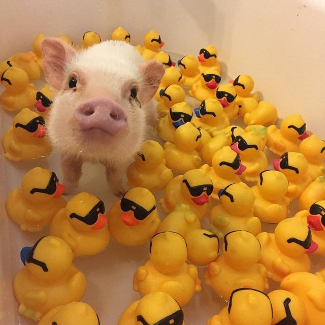 Pig with rubber ducks