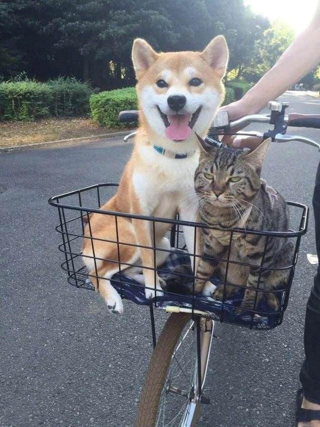 not happy cat in bike basket
