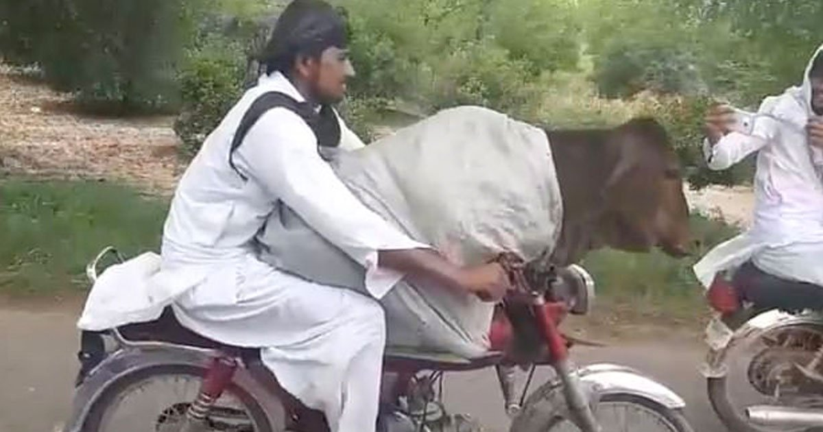 man riding bike with cow.jpg?resize=1200,630 - Video Of A Man Riding A Motorbike With A Cow Sitting On His Lap Went Viral