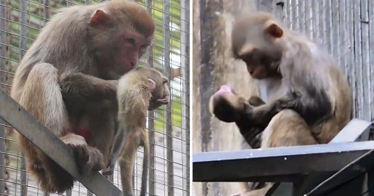 monkey cradles dead baby.jpg?resize=412,232 - Heartbreaking Video Of A Mother Monkey Cradling Her Dead Baby