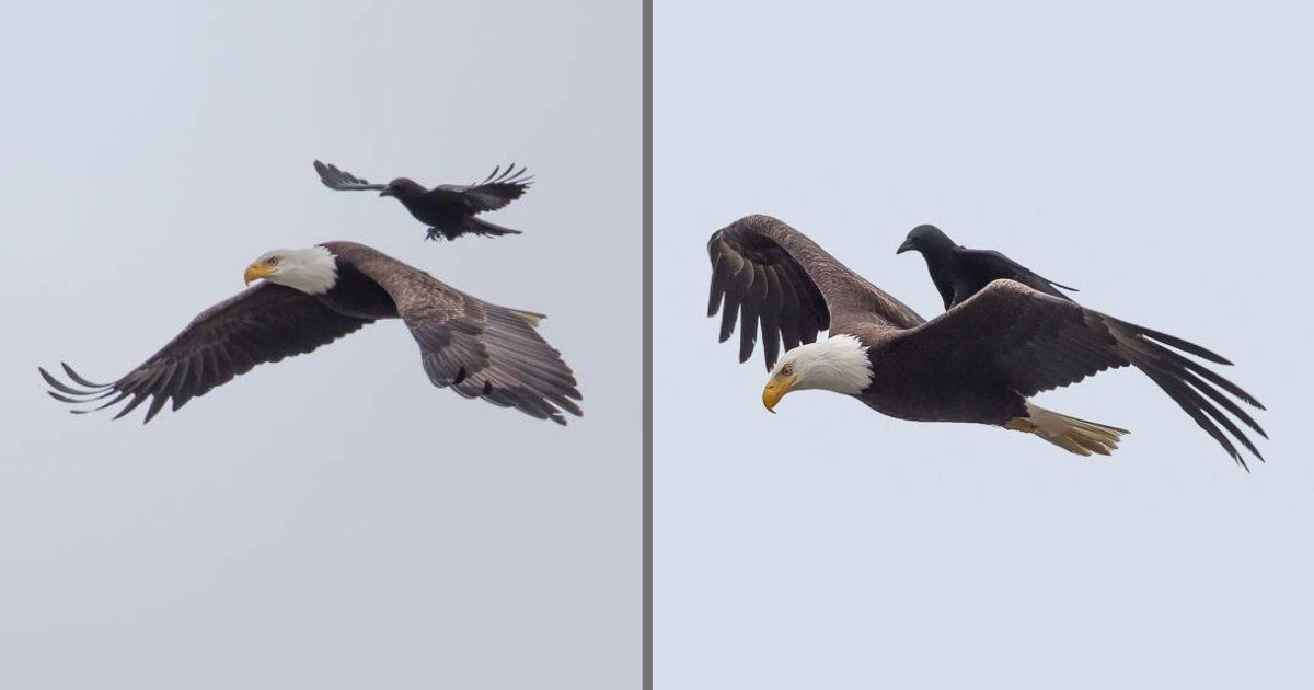 s4 10.png?resize=1200,630 - Riding On the Back of an Eagle, This Crow was Captured Having Some Great Fun Moments