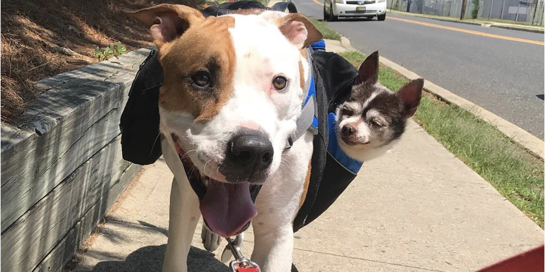 screen shot 2019 05 22 at 5 40 15 pm.png?resize=1200,630 - Amazing Friendship Between A Pit Bull And A Senior Chihuahua