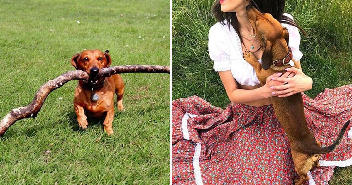 tiny dog carry giant sticks.jpg?resize=412,232 - This Adorable Tiny Dachshund's Favourite Hobby Is To Carry Giant Sticks