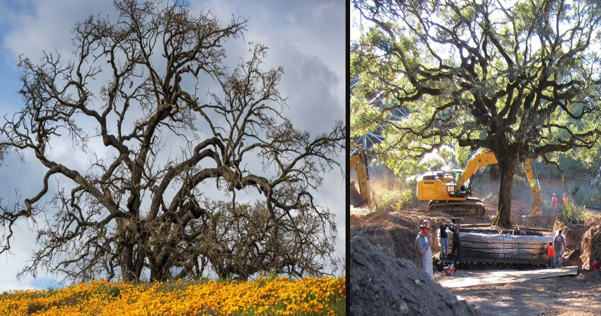 untitled 1 24.jpg?resize=1200,630 - California Couple May Pay Up To $600K For Uprooting A 180 Year-Old Oak Tree