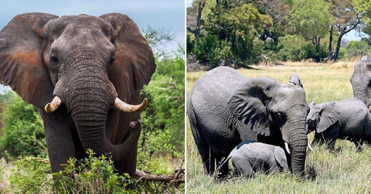 untitled design 14 1.png?resize=412,232 - Un pays lève l'interdiction de chasser l'éléphant pour se débarrasser des 'grandes' populations d'éléphants