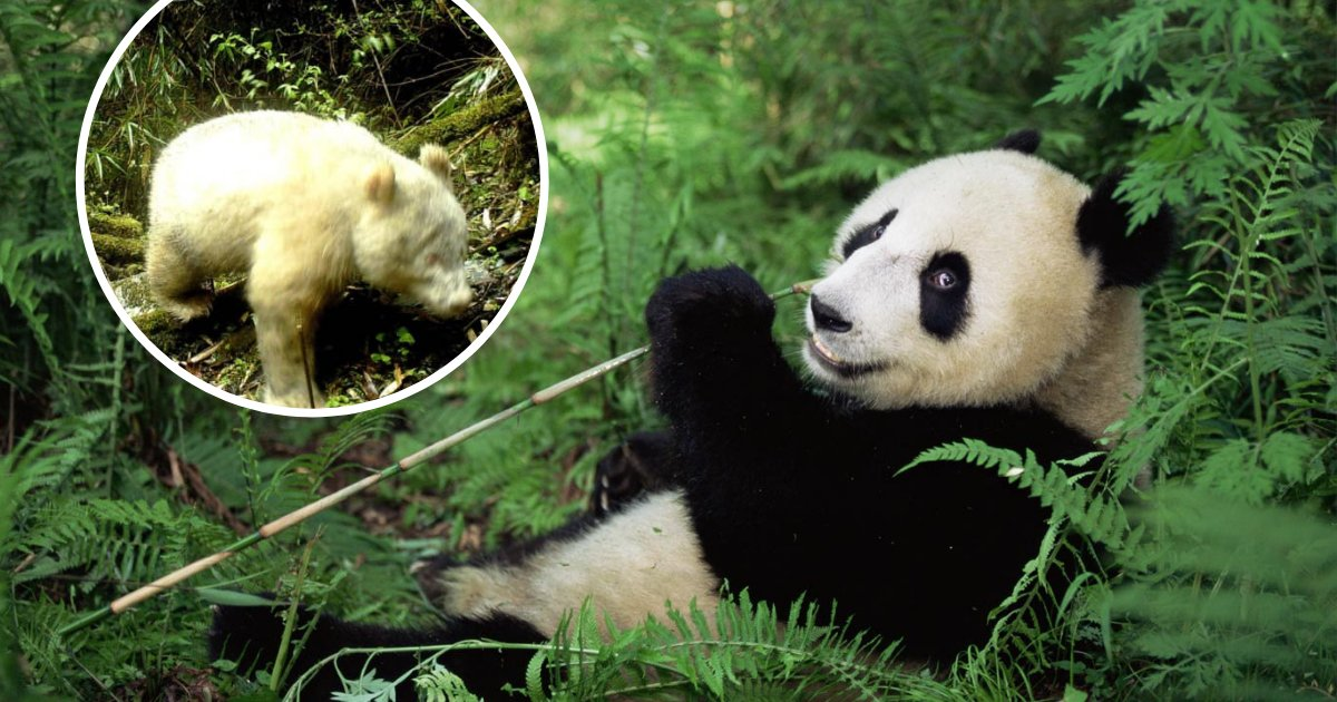 untitled design 51 1.png?resize=1200,630 - World's First Albino Giant Panda Captured On Camera In The Wild