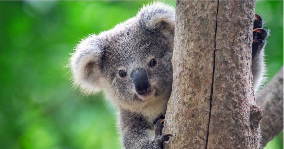Researchers State Koalas Have Become Functionally Extinct - Small Joys