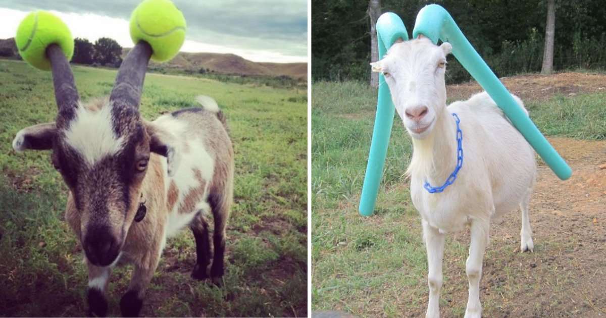 y3 18.png?resize=1200,630 - 10 Goats Were Forced To Wear Pool Noodles For Misbehaving Too Much